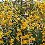 덴드로비움 한코키(원종).죽도석곡.대나무석곡.사이즈큰것.대품.다시입고.아주좋은향(꽃이 예쁜 노랑색).인기상품.상태굿.|