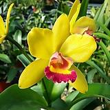 카틀레야.YR333.엘로우킹.노랑색에빨강립술.아주예쁜색.향기좋은향.고급종.잘않나오는 품종.인기상품.잎사귀싱싱해요.꽃피었던 상품.|
