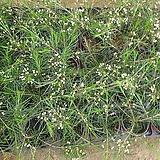 왁스플라워(랜덤)|Echeveria agavoides Wax