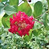 배롱나무 (다이너마이트) 삽목2년생 목백일홍나무 [모든원예조경]|