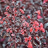 자엽배롱나무 (적색꽃) 삽목1년생 목백일홍나무 [모든원예조경]|