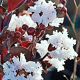 자엽배롱나무 (백색꽃) 삽목1년생 목백일홍나무 [모든원예조경]|