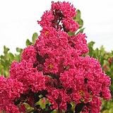 배롱나무 (핑크벨로) 삽목2년생 목백일홍나무 [모든원예조경]|
