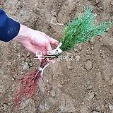 블루아이스나무 (엘사트리) 접목2년생 [모든원예조경]|Echeveria blue ice