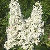 유럽라일락나무 (플로렌트 스탭맨) 접목1년 신품종라일락묘목 [모든원예조경]|Echeveria cv Peale von Nurnberg
