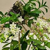 덴드로비움 포켓러브.석곡.다시입고.해고부작용.사이즈좋음.아주좋은향(꽃이깨끗한 흰색).꽃대.인기상품.|