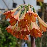키르탄서스 헤레이.오렌지색.색상예뻐요.꽃대있어요.고급종.|Adromischus marianiae Herrei