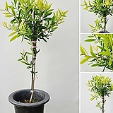 꽃과나무 ] 병솔나무 / 꽃이병닦는솔닮음 / 여름꽃 / 양지식물 / 최저7도 / 호주병솔나무|