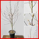 꽃과나무 ] 별목련 / 봄꽃 / 가을열매 / 양지식물 / 최저-5도 / 중국나무|