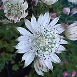 아스트란티아 스파클링 스타화이트 뿌리묘 별모양의 이쁜꽃을 피우고 노지월동 잘되는 품종이죠.|
