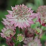 아스트란티아 로마 뿌리묘 별모양의 이쁜꽃을 피우고 노지월동 잘되는 품종이죠.|