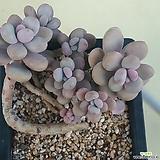 아메치스(1-76)|Graptopetalum amethystinum