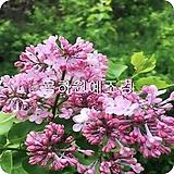 Echeveria cv Peale von Nurnberg