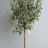 올리브나무 이태리토분, 동일상품배송입니다.|