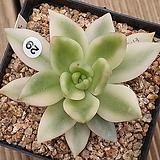 축송금|Echeveria scaphophylla