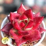 레드플럼 0114-29 |Echeveria Red Plum