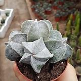 란봉옥선인장 Haworthia truncata