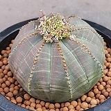 야생오베사선인장 수입실생이구요  사이즈많이좋은묵둥이입니다 0129 산아래다육이 Euphorbia obesa (Baseball Plant)