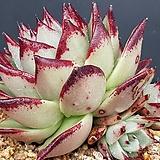 환엽 연꽃마리아(수입.효자인증 자구가2개씩이나있음)0116-59|Echeveria agavoides Maria