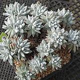 화이트그리니 자연군생 30두이상(1-75)|Dudleya White greenii