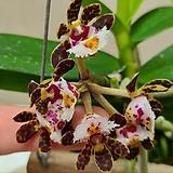 가스드로칠러스 벨리누드.사이즈큰것.나무바구니분.신상품입고.(아주예쁜꽃).은은한 향기(향기가 납니다).상태굿.꽃대있습니다.|