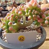 을녀심철화|sedum pachyphyllum