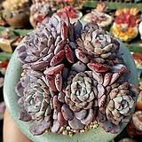 라피네 적심한몸군생 묵은둥이|Echeveria Lapine