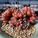 환엽로망 한몸군생 묵은둥이|Echeveria lucidum Roman