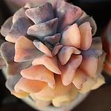 큐빅프로스트금 variegated