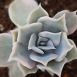 릴리시나금 Echeveria lilacina