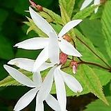 하야초(흰색)|