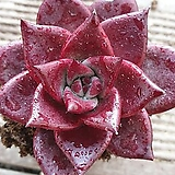 루밍주니어(뿌리무)