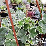 pelargonium inquinans