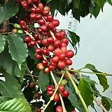 커피나무|