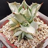왕비뇌신금|Agave potatorum(scolymum)
