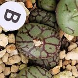 위트버젠스군생|Conophytum Wittebergense