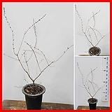 꽃과나무 ] 미선나무 / 부채모양열매 / 봄꽃 / 양지식물 / 최저-10도 / 한국나무|