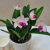 카틀레야 사쿠라히메.신상품입고.핑크에 더 진한자주핑크립프.(아주예쁜색).인기상품.꽃대.잎사귀싱싱해요.|