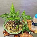 황금중투 고사리|variegated