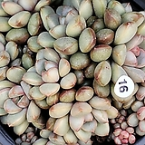 홍포도|Graptoveria Ametum