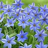 향기별꽃 블루/ 아이페이온 제시|