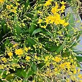 환타지아.향천(쵸코렛향).황조롱이.다시입고.노란색.색상예뻐요.향이 진짜 좋습니다.상태굿.꽃대.|Echeveria Fantasia Clair