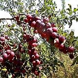 천사사과나무 접목1년 