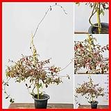 꽃과나무 ] 백하등 / 넝쿨 / 봄꽃 / 향기 / 반양지식물 / 최저1도 / 동아시아|