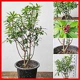 꽃과나무 ] 천리향 / 꽃 / 향기 / 반양지식물 / 관리 쉬움 / 최저온도5도 / 중국산|