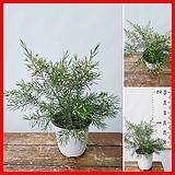 꽃과나무 ] 왁스플라워 / 솔매 / 봄꽃 / 향기 / 양지식물 / 최저5도 / 호주산|Echeveria agavoides Wax