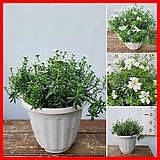 꽃과나무 ] 눈꽃 / 이메리스 / 유실수 / 겨울개화 / 봄개화 / 양지식물 / 최저-5도 / 유럽산|