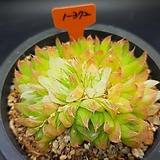 경화금 자연군생 Haworthia cymbiformis f. variegata