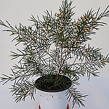 왁스플라워(37cm내외)|Echeveria agavoides Wax