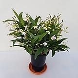 깅기아난(흰꽃)|